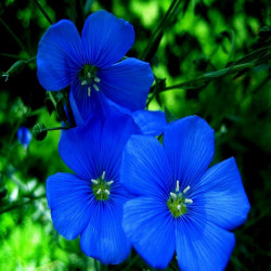 Most Beautiful Blue Flowers and their Meaning