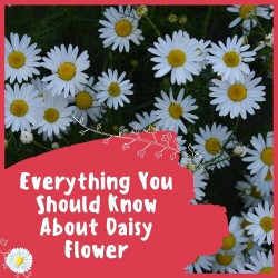 Everything You Should Know About Daisy Flower
