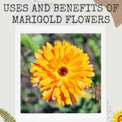 Uses and Benefits of Marigold Flowers that You Don't Know Before