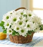 Buy Daisies Flowers