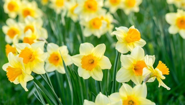 Daffodils used as Currency
