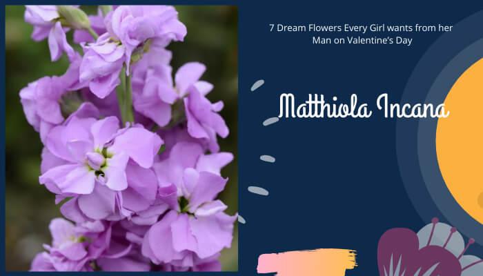 Matthiola Incana - Hoary stock