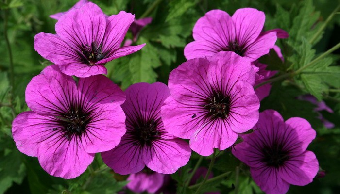 Full sun plants - Geranium