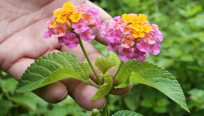 Summer bedding plants - Lantana