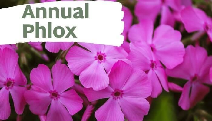 Annual Phlox