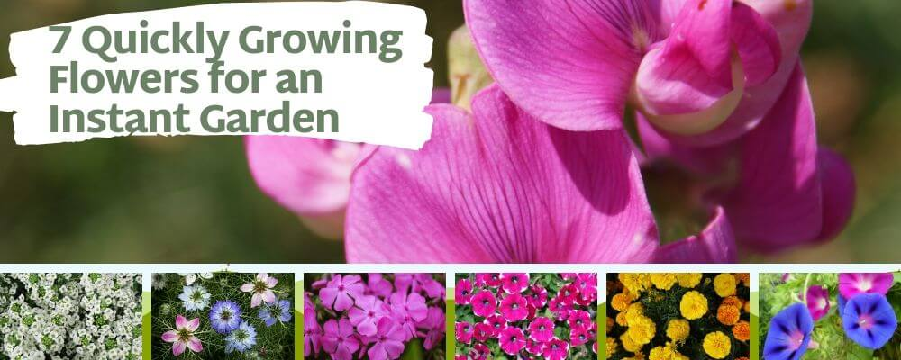 7 Quickly Growing Flowers for an Instant Garden