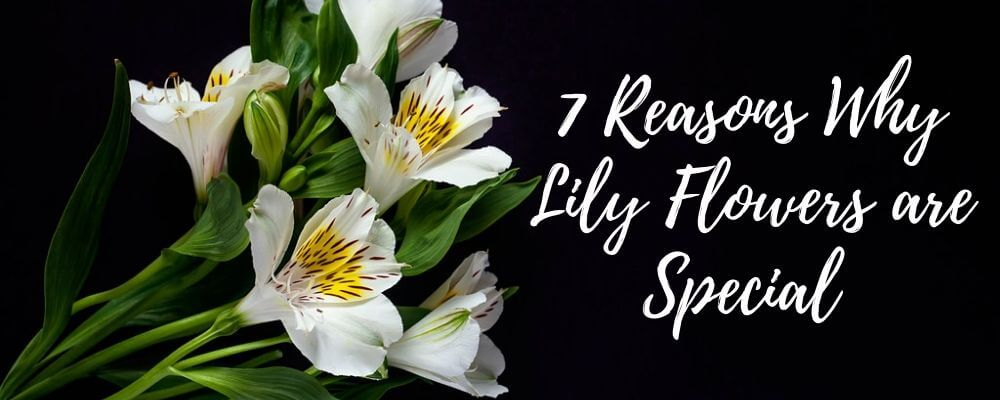 7 Reasons Why Lily Flowers are so special for your Garden