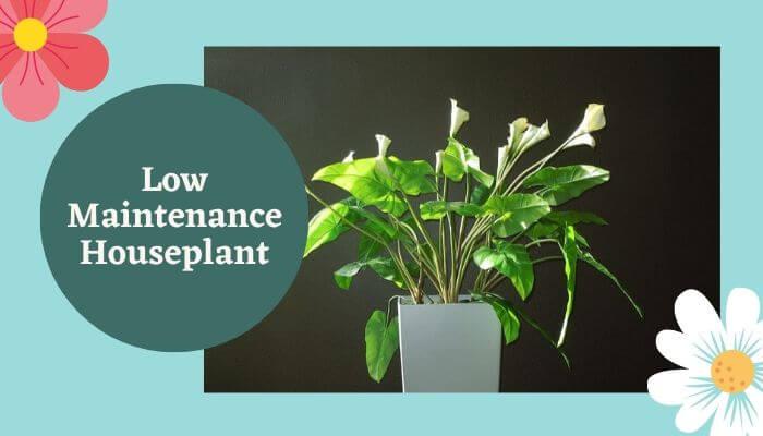 Low Maintenance Houseplant