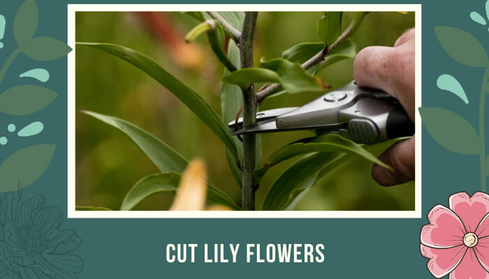Cut Lily Flowers