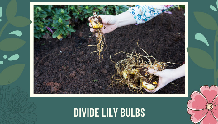 Divide Lily Bulbs