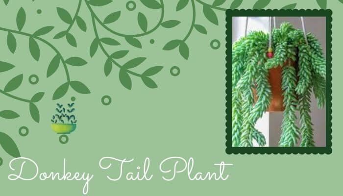 Donkey tail plant