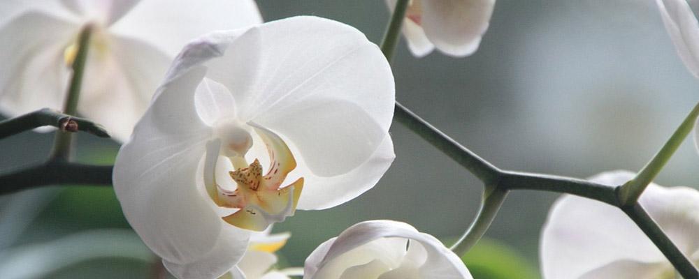 Congratulation Orchids bouquet
