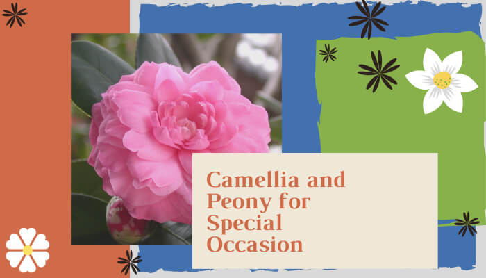 Camellia and Peony for Special Occasion Flowers
