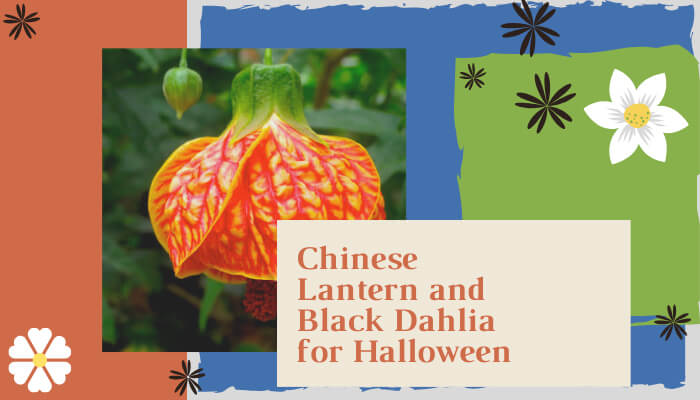 Chinese Lantern and Black Dahlia for Halloween