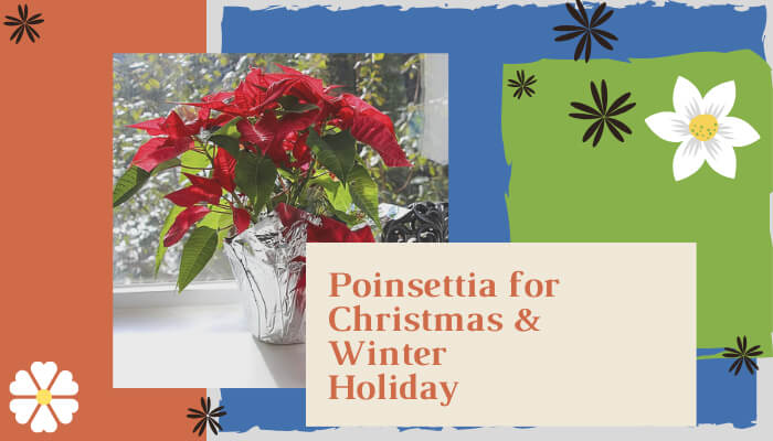 Poinsettia for Christmas and Winter Holiday Season