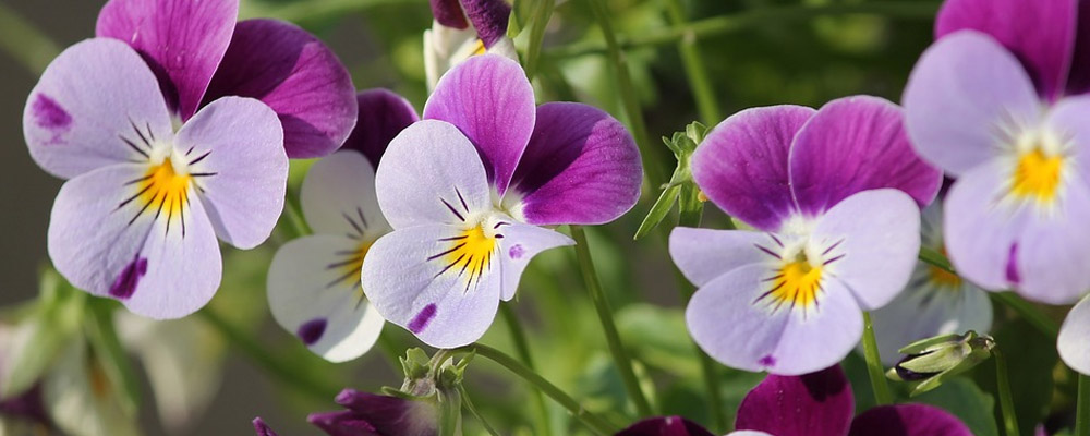 Buy Pansies flower for birthday