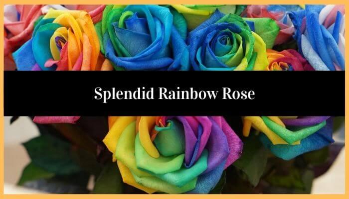 Splendid Rainbow Rose