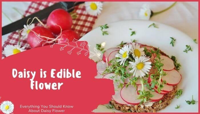Daisy is Edible Flower
