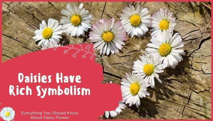 Daisies Have Rich Symbolism
