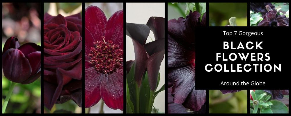 Top 7 Gorgeous Black Flowers Collection around the Globe