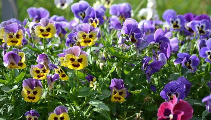 Beautiful Torenia