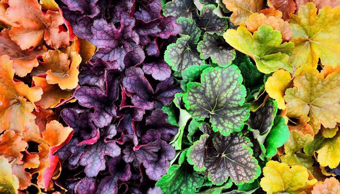 Colorful Coral Bells
