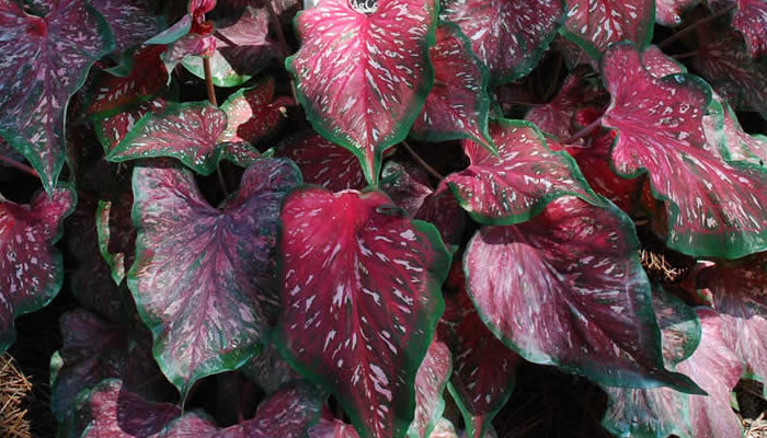 Vibrant color Caladium