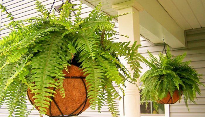 Tough to Grow Plants - Boston Fern