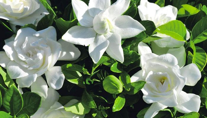 Difficult to Grow Plant - Gardenia