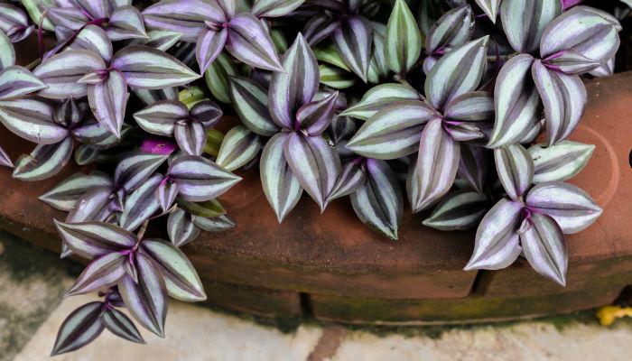 hard to keep alive plants - Wandering Jew