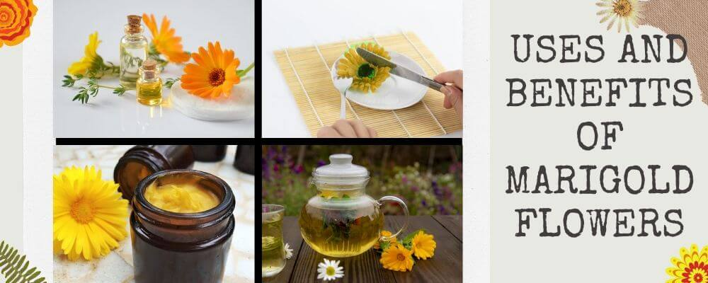 Uses and Benefits of Marigold Flowers